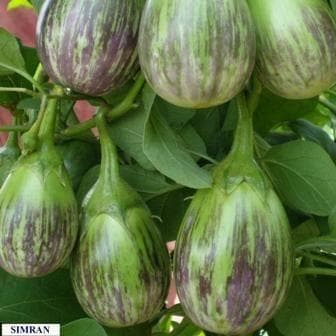 Vegetable Seeds - SIMRAN BRINJAL
