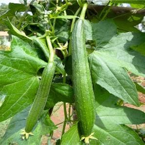 Vegetable Seeds - SPONGE GOURD