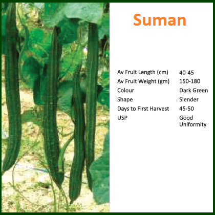 Vegetable Seeds - SUMAN RIDGE GOURD