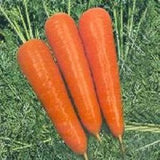 Vegetable Seeds - SUPER KURODA (OP) CARROT