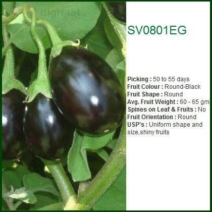 Vegetable Seeds - SV0801EG BRINJAL