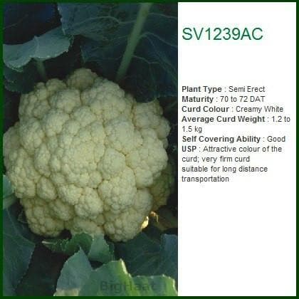 Vegetable Seeds - SV1239AC CAULIFLOWER