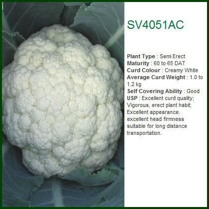 Vegetable Seeds - SV4051AC CAULIFLOWER