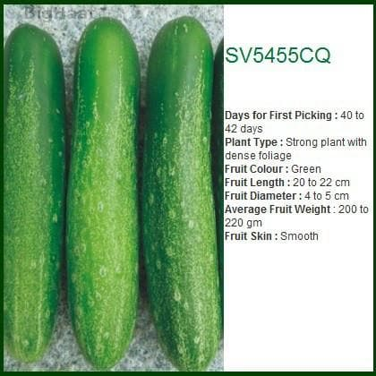 Vegetable Seeds - SV5455CQ CUCUMBER