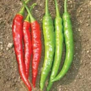 Vegetable Seeds - US 170 CHILLI