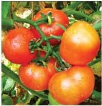 Vegetable Seeds - US 3140 TOMATO