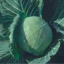 Vegetable Seeds - VIGNESH CABBAGE