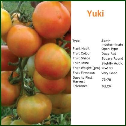 Vegetable Seeds - YUKI TOMATO
