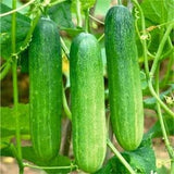 Vegetable Seeds - ZOYA CUCUMBER