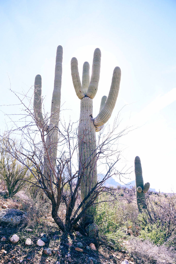 Cactus, cacti, saguaro, national park, hike, hiking, sunshine, desert, brush