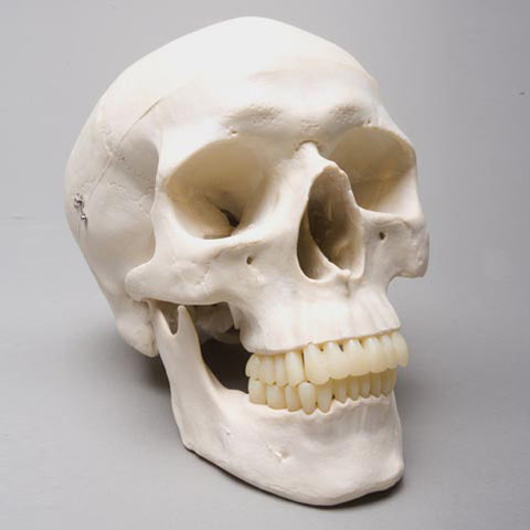 """Harvey"" Skull, 2nd Class"