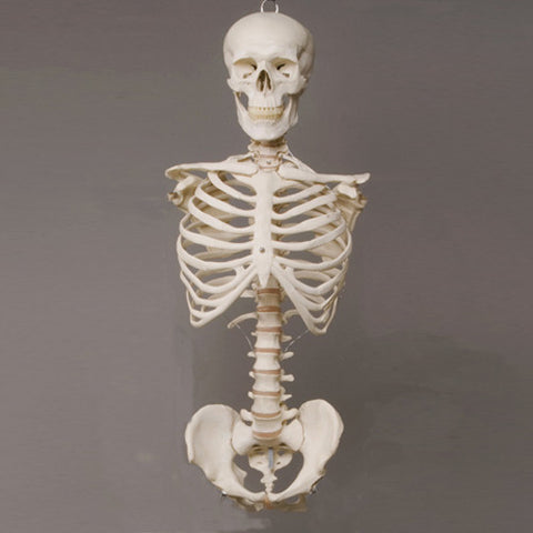 """Harvey"" Skeleton Torso w/ Skull, Life Size, 2nd Class"