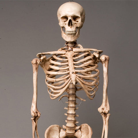 """Harvey"" Skeleton, Life-Size, 2nd Class, Aged Version"