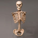 """Harvey"" Skeleton Torso w/ Skull, Life Size, 2nd Class, Aged Version"
