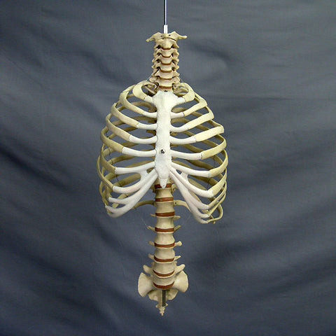 """Harvey"" Skeleton Rib Cage & Spine, Life Size, 2nd Class"