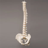 """Harvey"" Skeleton Spine, Life Size, 2nd Class"