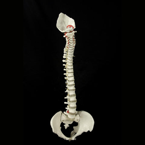 """Bucky"" Skeleton Spine,  Life-Size, 4th Quality"