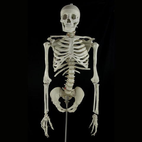 """Bucky"" Skeleton Torso With Arms"