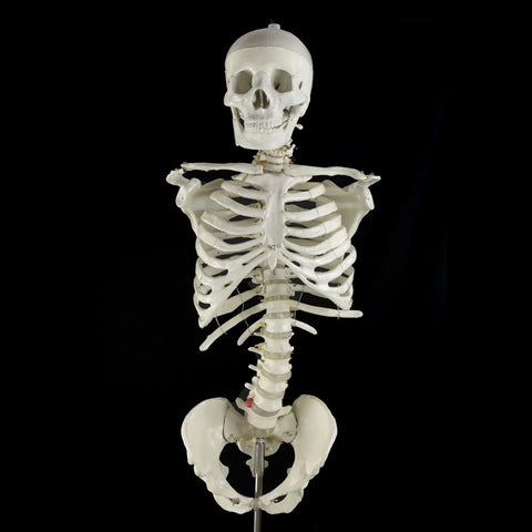 """Bucky"" Skeleton Torso Without Arms"