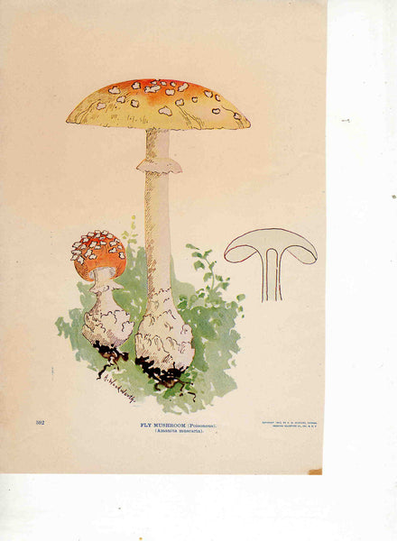 Fly Mushroom 1903 A. Woodworth vintage magazine print