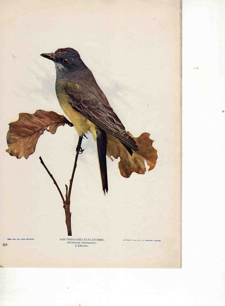 Ash-Throated Flycatcher Bird 1904 vintage magazine photo print