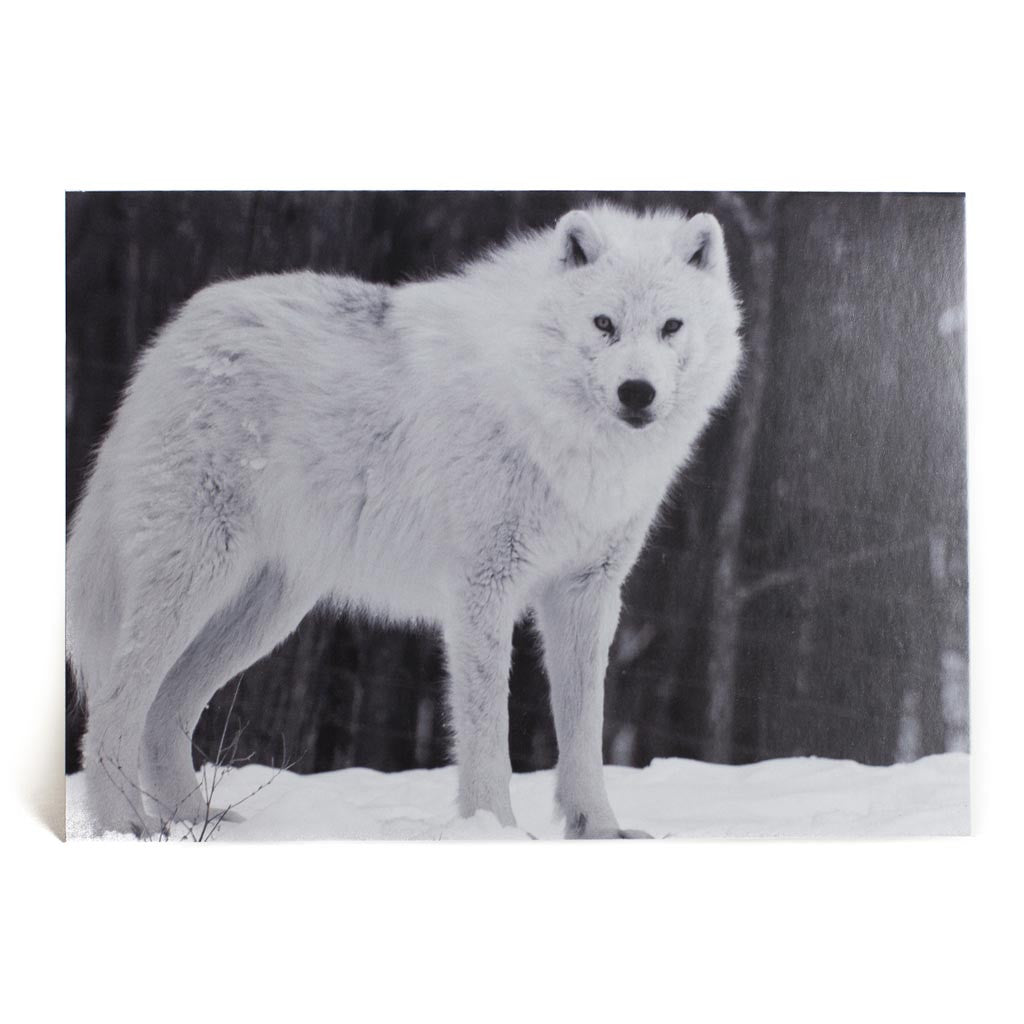 arctic wolf essay Authoritative essay on arctic wolves and their prey by a widely recognized expert national oceanic and atmospheric administration united states department of commerce  the arctic wolf is a race, subspecies, or geographic variant of the gray wolf (canis.