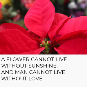 Flower of the Holy Night - Pointsettias