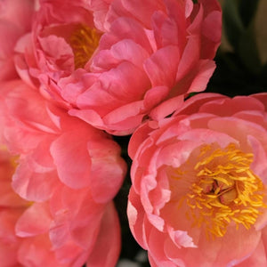 Peony Season Has Arrived!