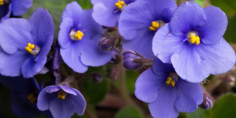 Violets are February's Birth Flower
