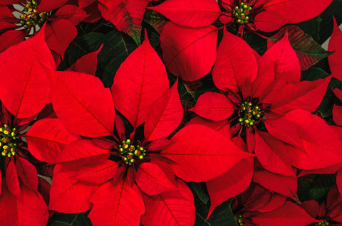 Poinsettia Plants | December Birth Flower | Floriade Florist | Same Day Delivery