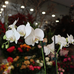 Phalaenopsis Orchids | White Pot