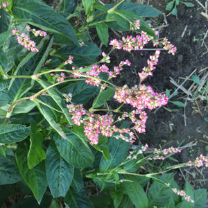 """Senbon"" Persicaria Tinctoria Pink Flowering long leaf Indigo"