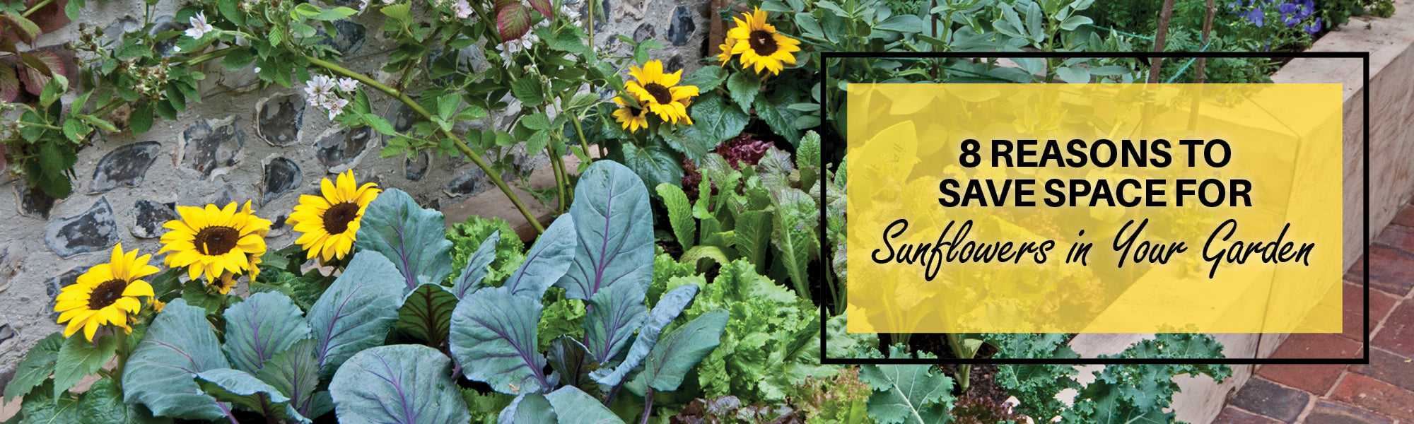 8 Reasons to Save Space for Sunflowers in Your Garden