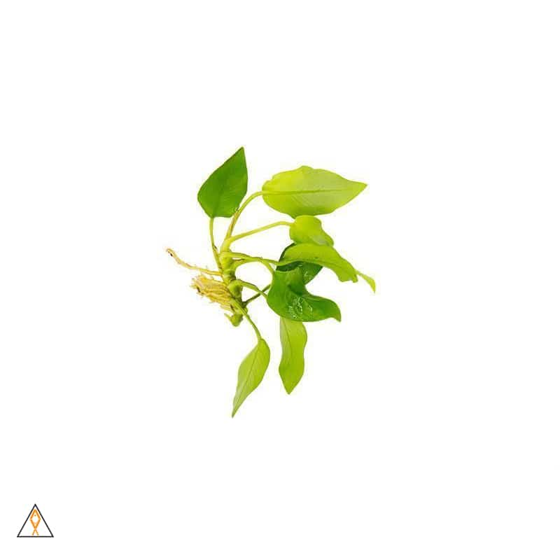 Aquatic plant ALA - Loose Cutting Anubias nana 'Golden'