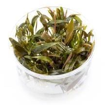 Aquatic plant Cryptocoryne becketii