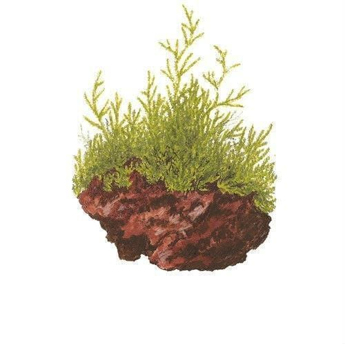 Aquatic plant Taxiphyllum barbieri (Java Moss)