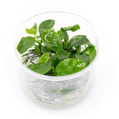 Anubias barteri In-Vitro Aquatic Plant Tissue Culture | Aqua Lab Aquaria