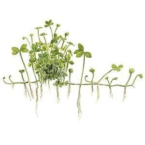 Marsilea hirsuta In-Vitro Aquatic Plant Tissue Culture | Aqua Lab Aquaria