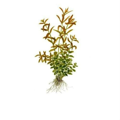 in-vitro aquatic plant culture Rotala rotundifolia pink