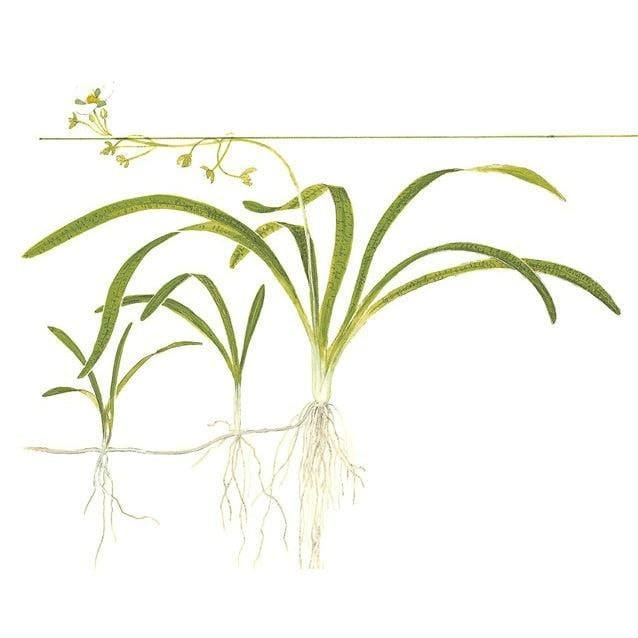 Sagittaria subulata In-Vitro Aquatic Plant Tissue Culture | Aqua Lab Aquaria