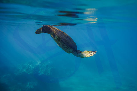 Green Sea Turtle Diving