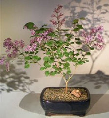 Korean Lilac in Blue Pot 2018