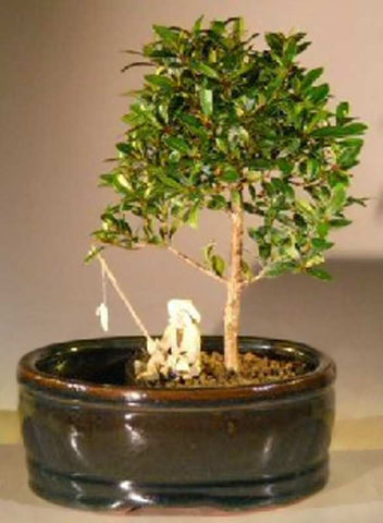 3057ELLA Brush Cherry in land & Water Pot (eugenia myrtifolia) 5 yrs 8 in