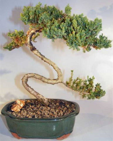 Juniper curved trunk styled in green pot
