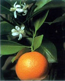 Orange Citrus Bonsai Flowers & Fruit