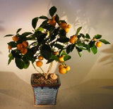 Orange Citrus Bonsai Tree in Full Fruit