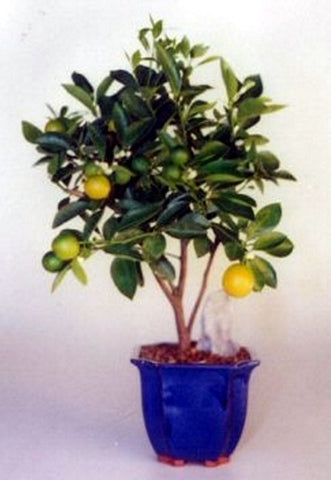 Orange Citrus Bonsi Tree with green fruits