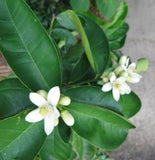 Persian Lime Blooms
