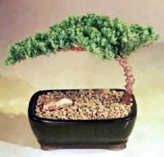 "Juniper Bonsai Small 3 years old 5-6"" tall Juniper Procumbens Nana Free Tray & Pebbles"