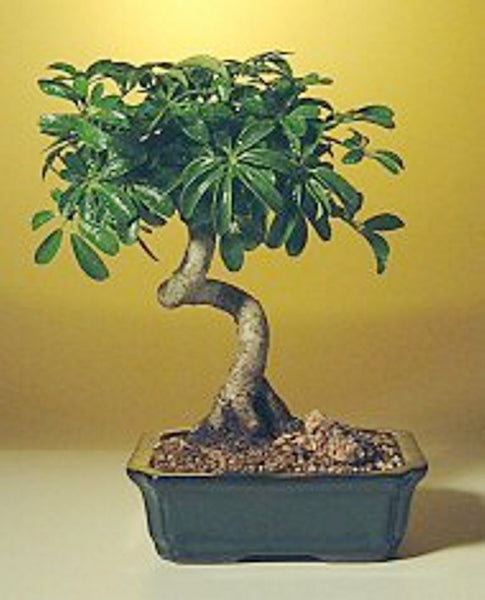 "Hawaiian Umbrella Bonsai Tree Coiled Trunk Arboricola Schefflera 'Luseanne' 8yr 11"" T"